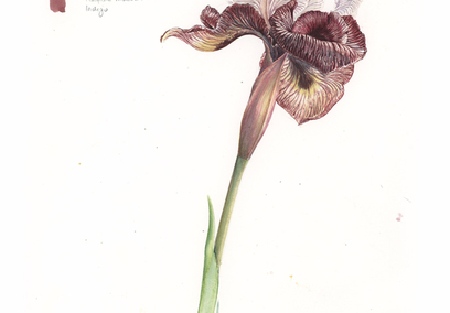 Thumb 37 sketch of iris iberica f